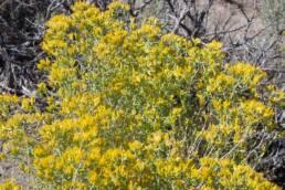 Douglas Yellow Rabbitbrush