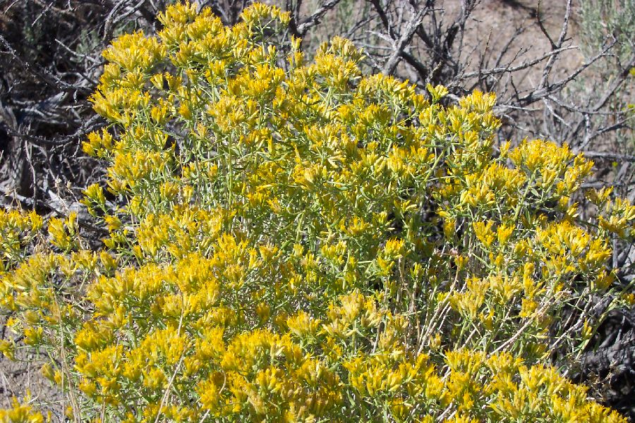 Douglas Yellow Rabbitbrush