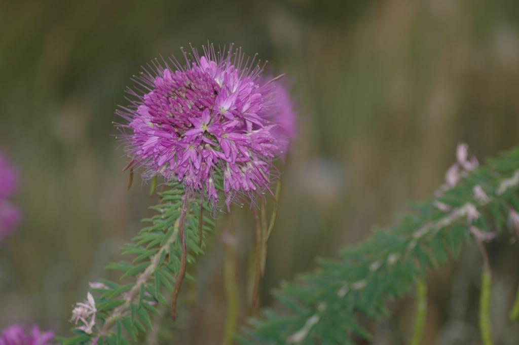 Rocky Mountain Beeplant