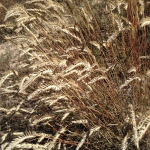 Hycrest Crested Wheatgrass
