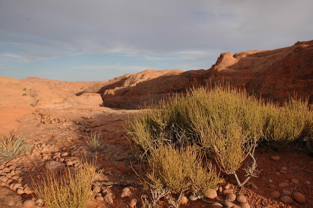 Nevada Ephedra