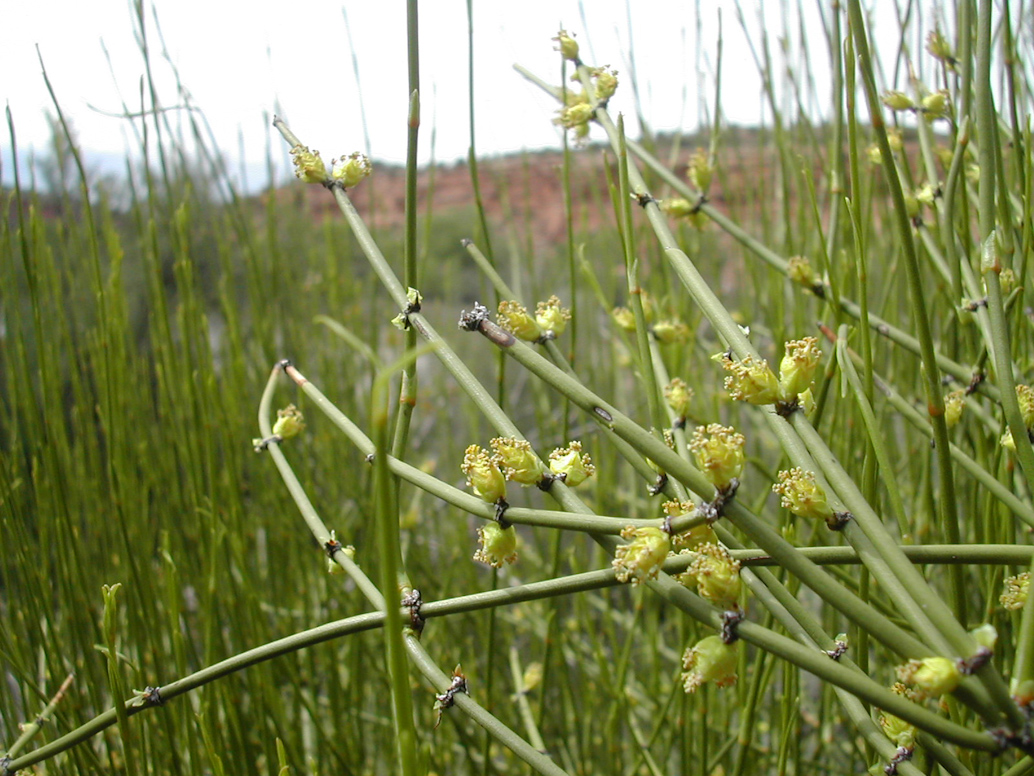 where can you get ephedra