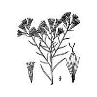Rabbitbrush, Ericamerica nauseosa