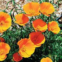 group of bloomed orange/yellow California Poppy flower, scientific name eschscholzia Californica