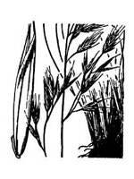 black and white image of Idaho Fescue plant, scientific name vulpia myuros
