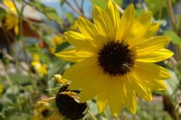 Annual Sunflower