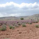field of purple flowered Utah Sweet Vetch in Central Utah valley, scientific name hedysarum boreale utahensis
