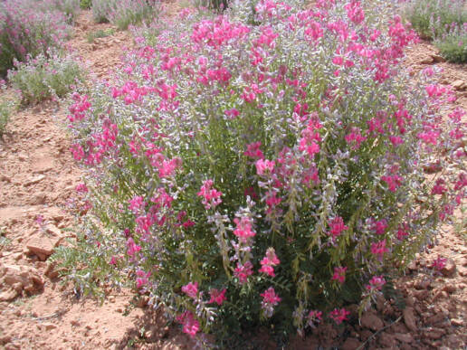Utah Sweetvetch