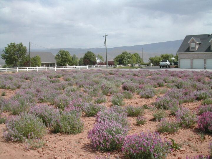 field with pink/purple Utah Sweet Vetch flowers, scientific name hedysarum boreale utahensis