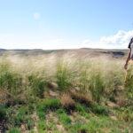 Needle & Threadgrass (Hesperostipa comata)