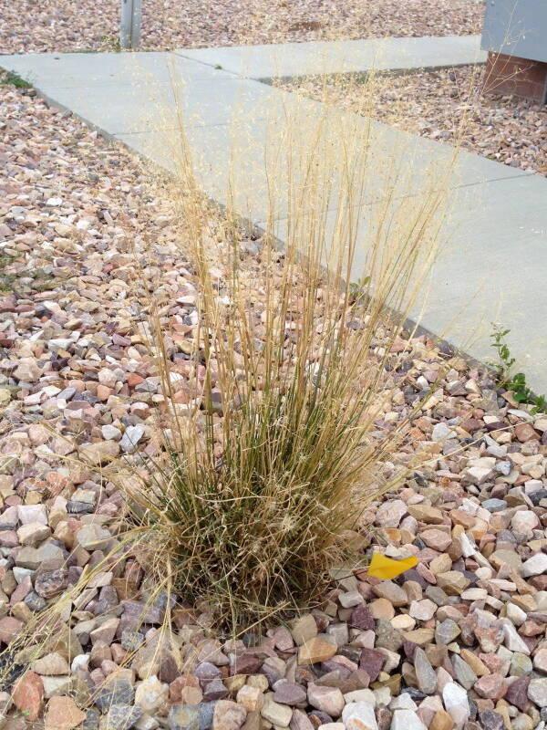 Indian Ricegrass, Achnatherum hymenoides