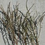 Forage Kochia Stems and Seed