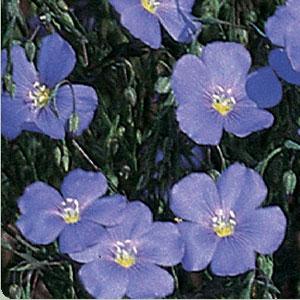 Lewis Blue Flax