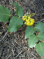 large leafed yellow flowered Oregon Grape plant, scientific name mahonia repens