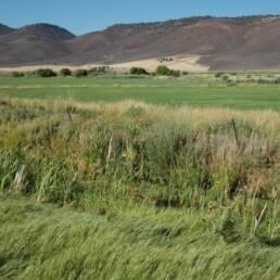 Salt & Alkali Soils Pasture Mix