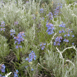 Rydberg's Penstemon