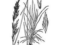 black and white image of Sandberg Bluegrass plant, scientific name poa secunda sandbergii