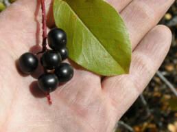 Black Choke Cherry