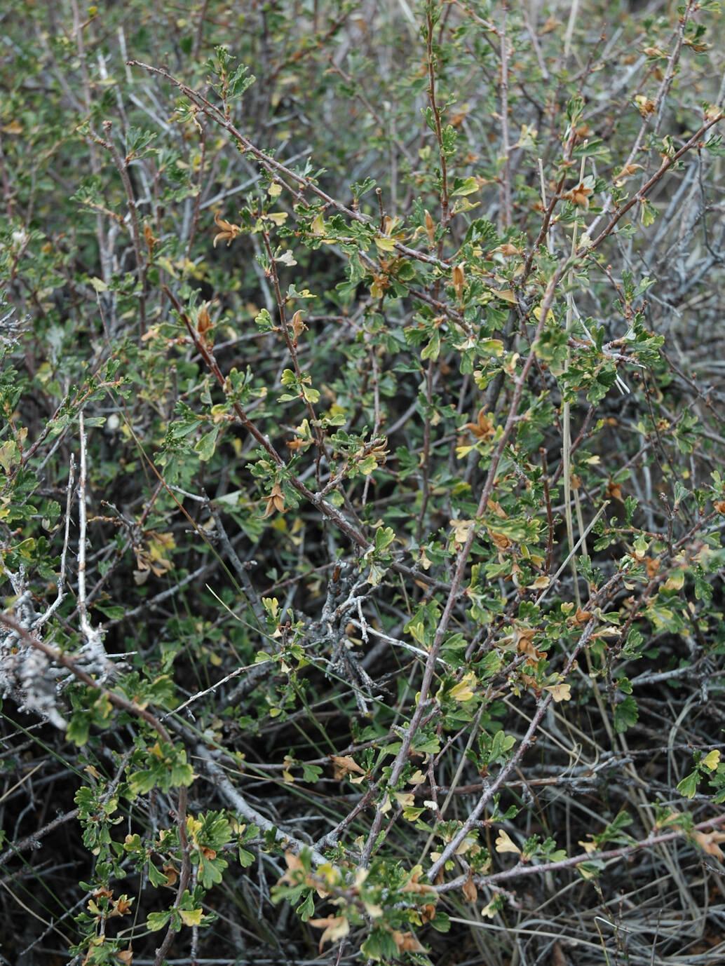close up of Antelope Bitterbrush shrub branch, scientific name purshia tridentata