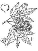 black and white image of Red Elderberry plant, scientific name sambucus racemosa