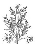 black and white image of Greasewood plant, scientific name sarcobatus