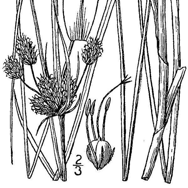 black and white image of Alkali Bulrush plant, scientific name bolboschoenus maritimus