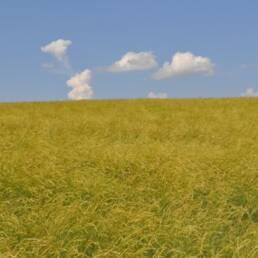 Secar Snake River Wheatgrass