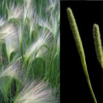 Garrison Creeping Foxtail and foxtail barley comparison