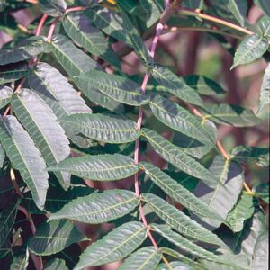 Smooth sumac leaves