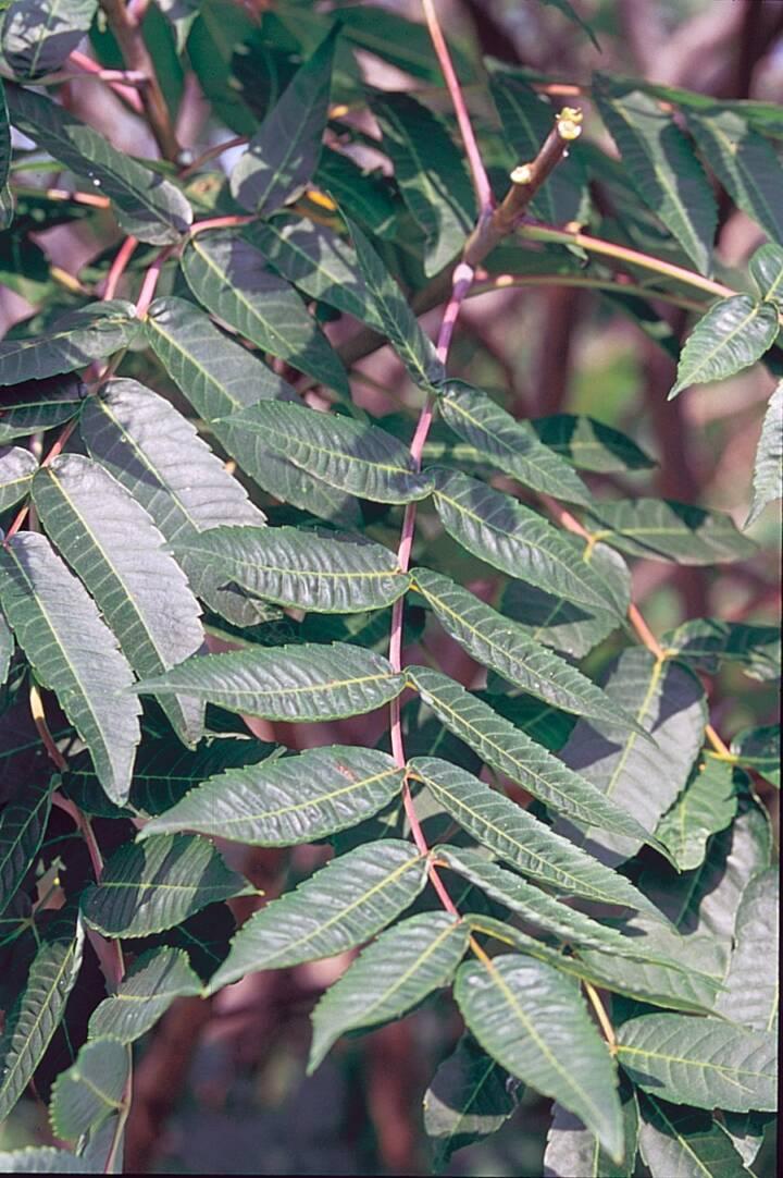 Smooth sumac leaves