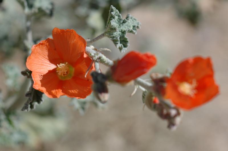 Desert Globemallow