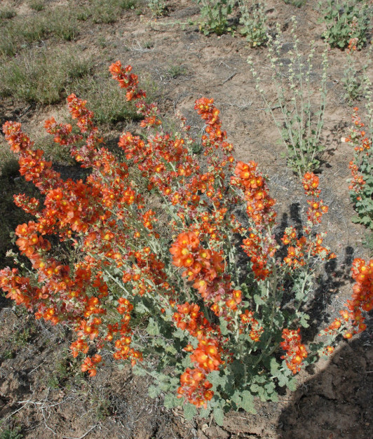 Munroes Globemallow