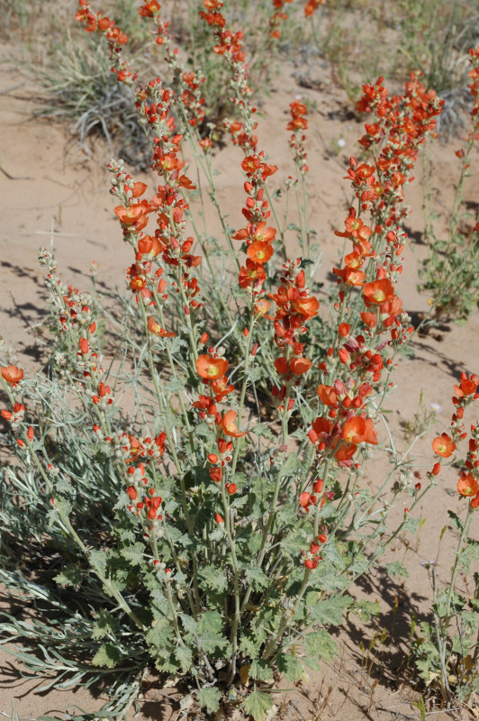 Small Leaf Globemallow