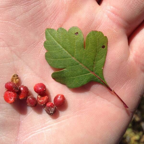 Skunkbush Sumac leaf and fruit
