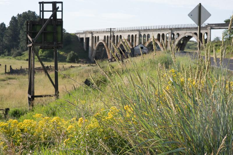 Basin Wildrye at the Steptoe Battlefield, WA