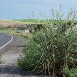 Basin Wildrye