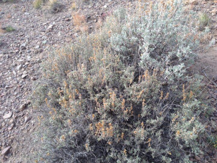 Black Sagebrush (left) and Wyoming Big Sagebrush (right) growing side-by-side, Thousand Lakes Mountain, UT
