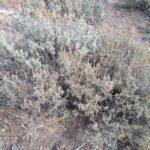 Black Sagebrush (bottom) and Wyoming Big Sagebrush (top)