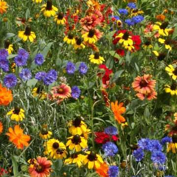 Southwest Wildflower Mix