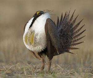 Sage Grouse in mating ritual