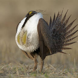 Seed Mixes for Sage Grouse Habitat, Sage Grouse in mating ritual
