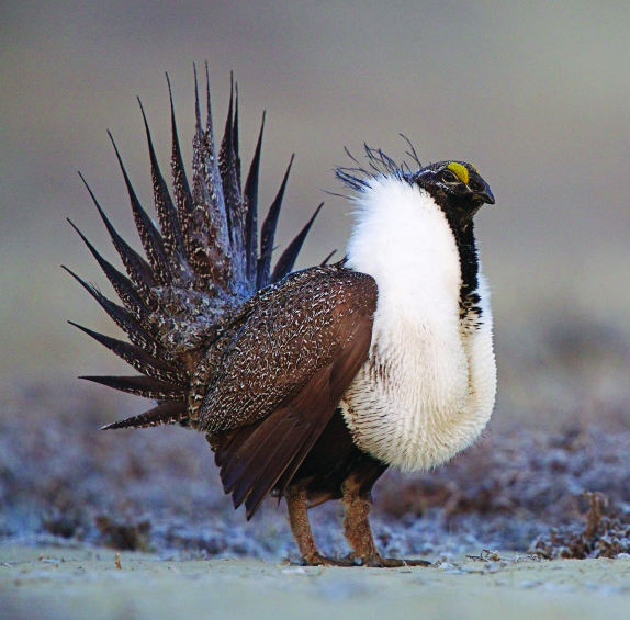 Seed for Sage Grouse Habitat