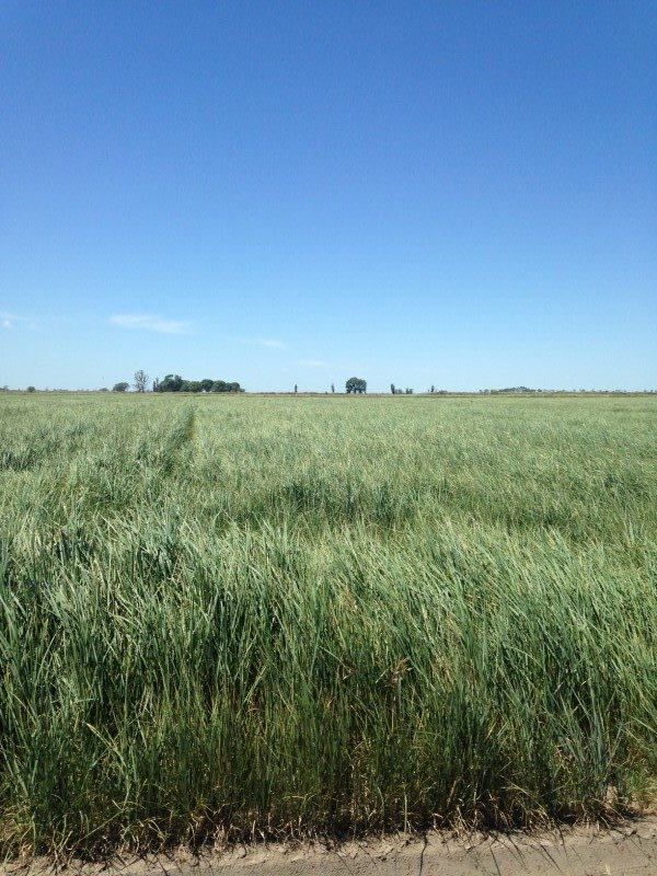 Hercules Tall Wheatgrass