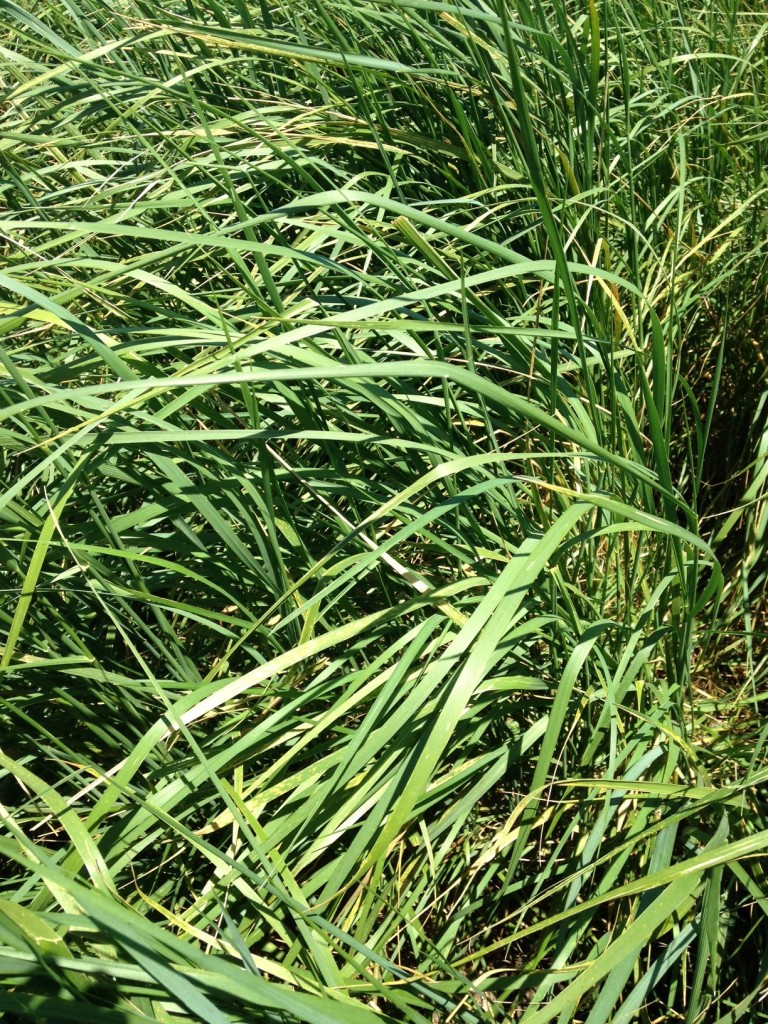 Hercules Tall Wheatgrass