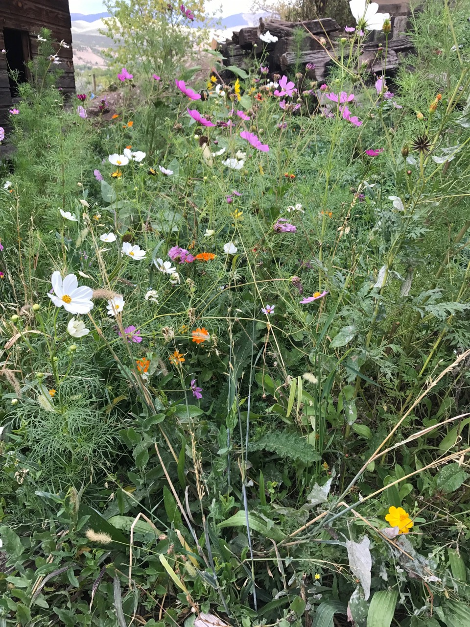 Honey Bee Flower Mix Wildflowers For Honey Bees Great Basin Seed