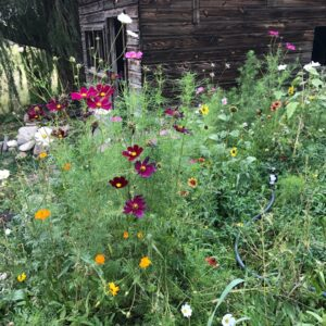 honey bee flower mix, pollinator seed