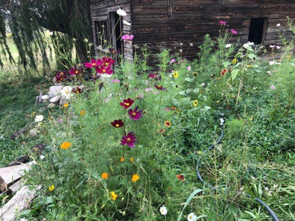 honey bee flower mix, pollinator seed