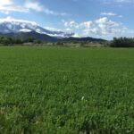Ladak II Alfalfa