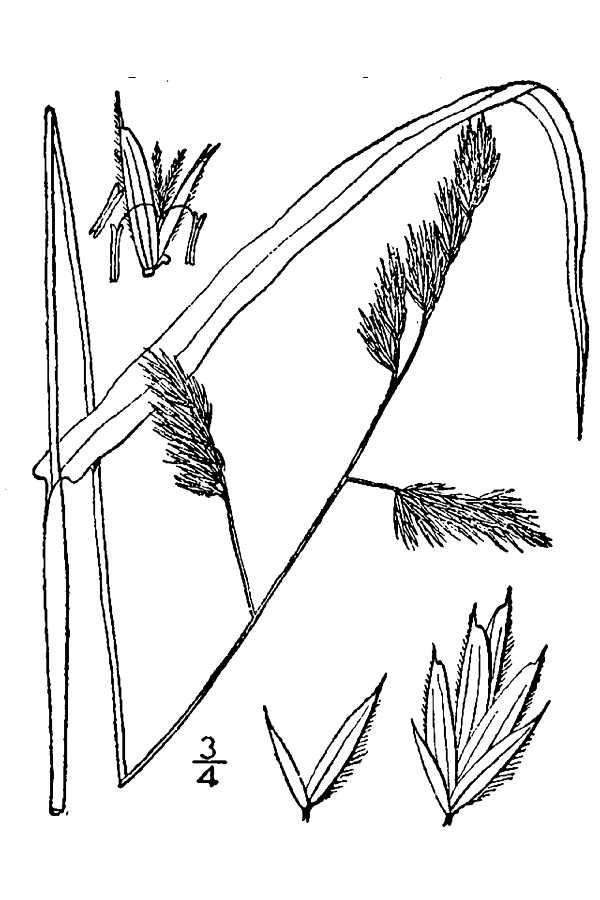 Paiute Orchardgrass