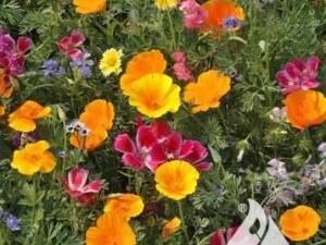 Northwest Wildflower Mix
